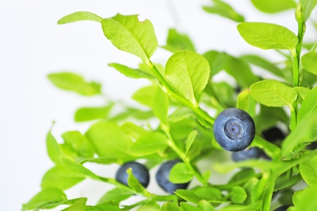 uncultivated: Uncultivated huckleberry on twigs witn green leaves Stock Photo