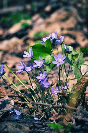 liverwort: Wild flower Anemone hepatica in spring forest.  Liverwort, kidneywort, pennywort Stock Photo