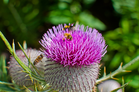 woolly: Bumble bee on a purple woolly thistle. Cirsium eriophorum Stock Photo