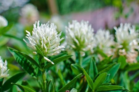 trifolium repens: White clover on meadow. Trifolium repens. Trifolium ochroleucon