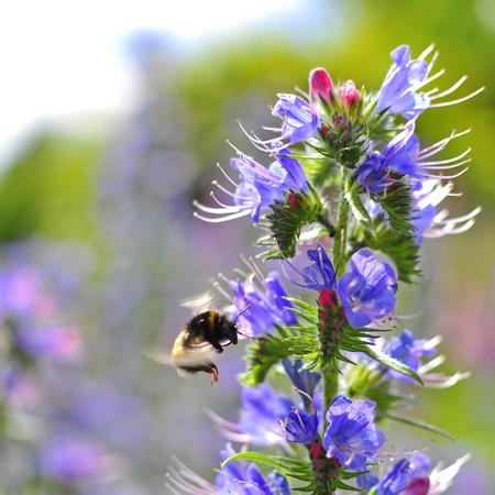 echium: Bumblebee pollinating purple Vipers Bugloss. Medicinal herb. Echium vulgare.