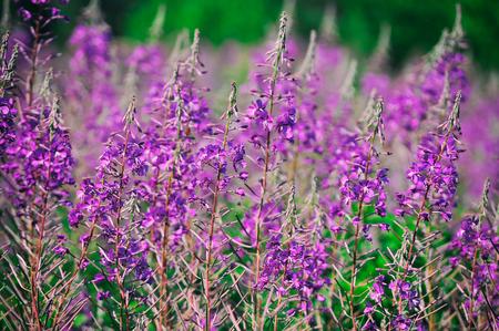 angustifolium: Willow-herb meadow Chamerion Angustifolium Fireweed Rosebay Willowherb