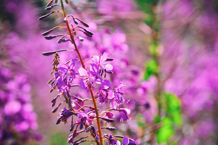 fireweed: Willow-herb meadow Chamerion Angustifolium Fireweed Rosebay Willowherb