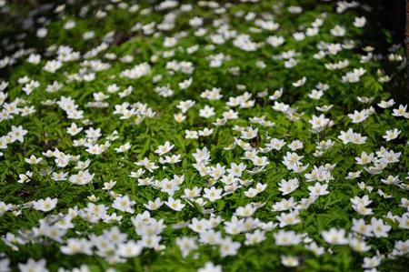 windflower: White wood anemone flowers. Anemone nemorosa, Ranunculaceae family. Common names include wood anemone, windflower, thimbleweed and smell fox.