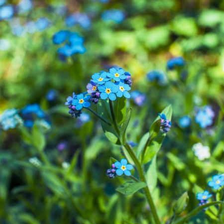 Blue forget me not flowers bunch