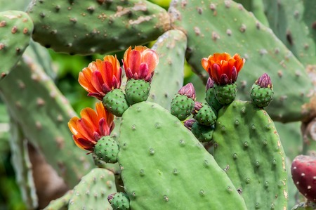 Edible cactus opuntia rufida