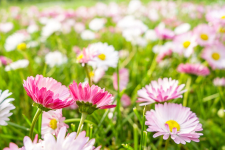 Beautiful spring pink daisies meadow. Floral background