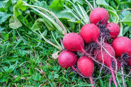 Freshly harvested radish on green lawn. Growing radish. Healthy food concept