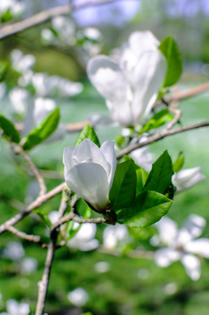 Photo of beautiful white magnolia flowers in park Stock Photo