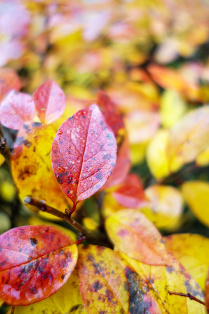Yellow and red autumn leaves