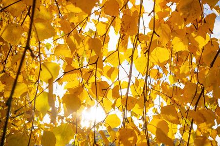 Yellow birch autumn leaves