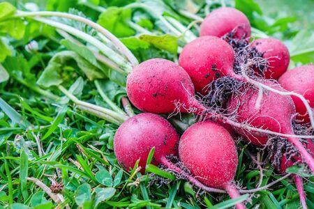 Freshly harvested radish on green lawn