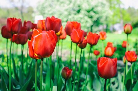 Red tulips blossom Stock Photo