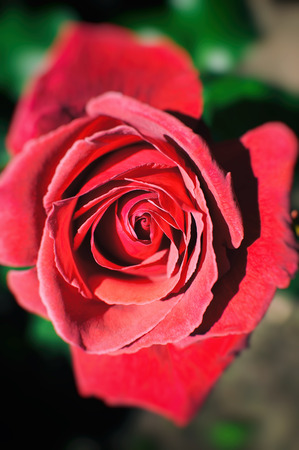 Beautiful red rose in the garden with blurred background. Floral background Stock Photo