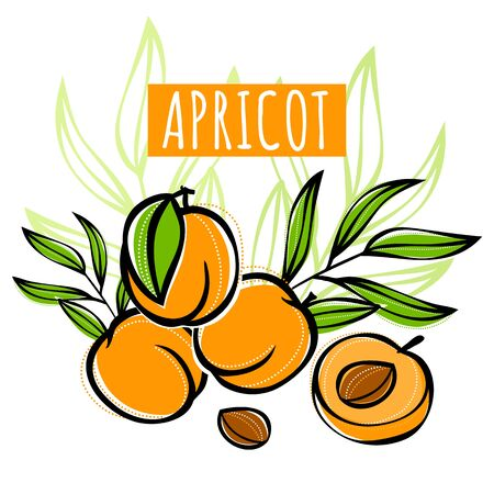 Vector sketch apricot fruit decorated with leaves. Hand drawn vector illustration for labels, restaurant menu, market label or package or another design.