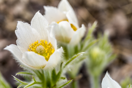 pulsatilla alpina  anemone alpina, witte bloesem in de tuin Stockfoto