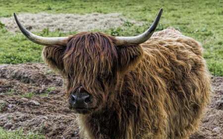 a Highland Cattle on the meadow Stock Photo