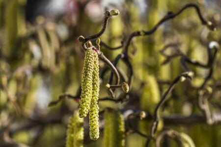 corylus avellana bush in the garden