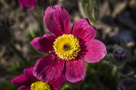 Pulsatilla vulgaris in the garden, the flower season begins Standard-Bild