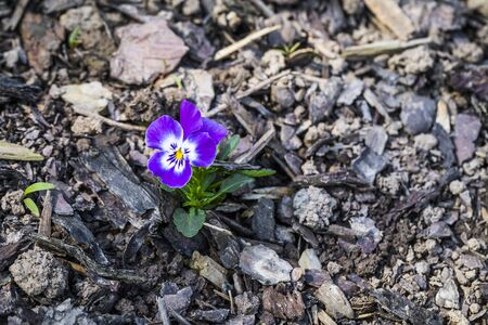 a blue Primula Blossom, first flowers in the springtime