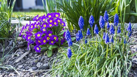 Muscari and Primulaceae in the garden