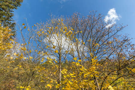yellow leaves on the tree, autumn in the forest