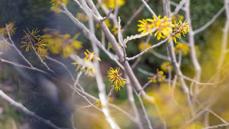 yellow witch hazel blossom in the garden