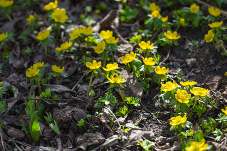 winter aconite blossom, food for the bees Standard-Bild