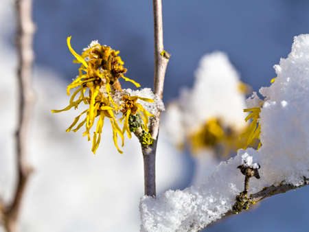 snow on the blossom of the witch hazel