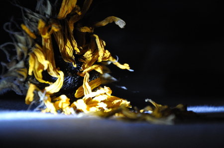 faded sunflower in the dark