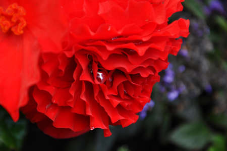 pearly: pearly raindrop in a red flower