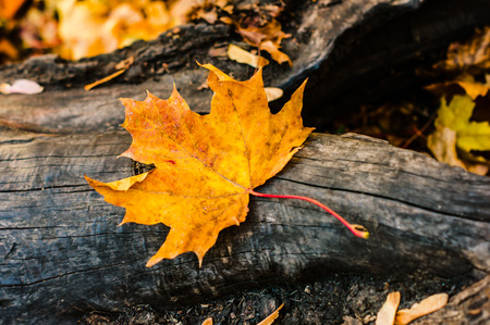 yellow maple leaf lying on a log