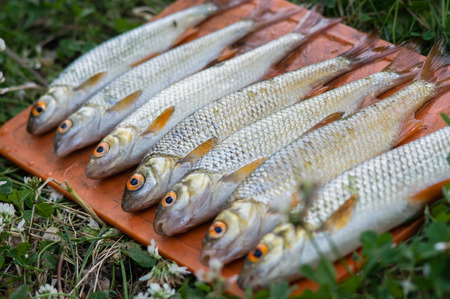 fresh catch of roach fish in forest lake