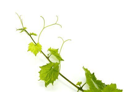 leaf grape: Hoja de uva verde fresco sobre fondo blanco aislado