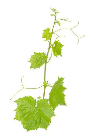 leaf grape: Hoja de uva fresca de verde sobre fondo blanco aislado