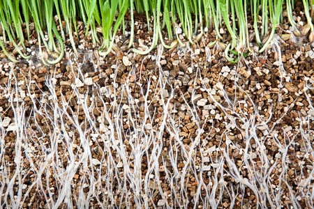 Fresh green grass root growing on vermiculite photo