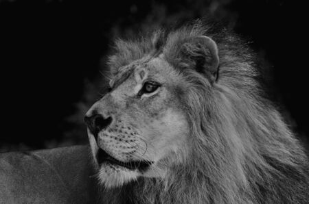 Lion in black background