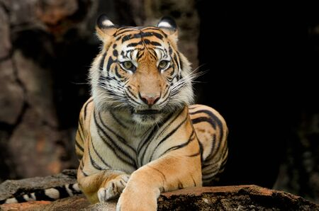 Sumatran tiger sitting on the rock Imagens