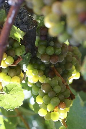 uvas vino: Uvas de vino