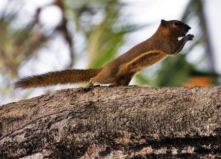 Squirrel eats a banana. Photographed on Bali island. Indonesia. Stock Photo - 4652775
