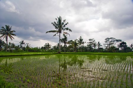 Reflections of palms in rice terrace. Bali. Indonesia Stock Photo - 4652863
