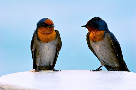 Portrait of two swallows photo