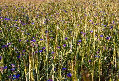 Summer field with cornflowers  photo