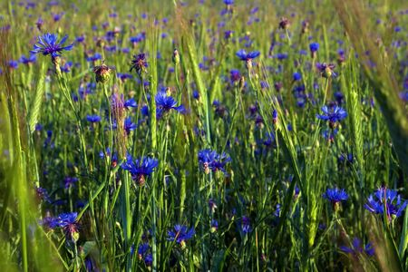 Summer field with cornflowers   photo