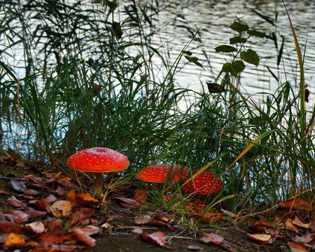 Three fly-agaric in the forest near the lake  Stock Photo - 7619861