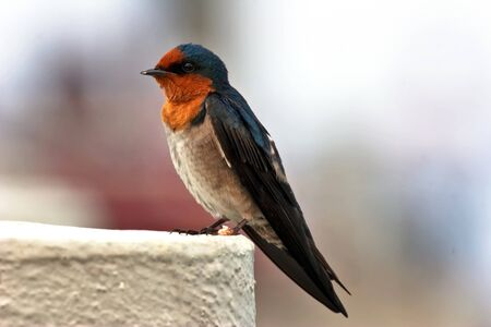 Portrait of swallow  photo