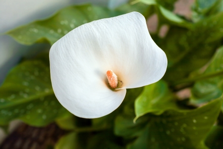 White Cala Lily on green leaves background photo