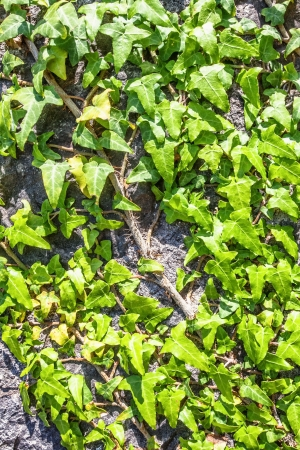 Ivy on a stones wall of old house Stock Photo - 15512709