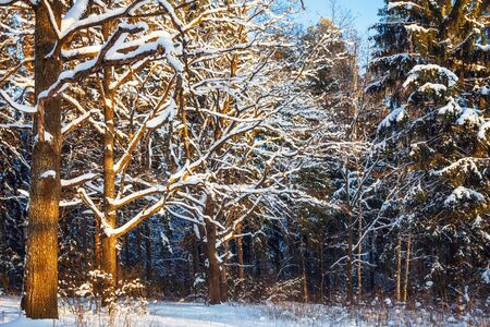 Beautiful winter forest in sunset light  Nature background  photo