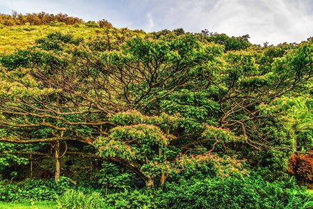 Big tree in the forest  Big island, Hawaii Stock Photo - 18918103